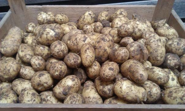 Mehr Kartoffeln in der Tüte