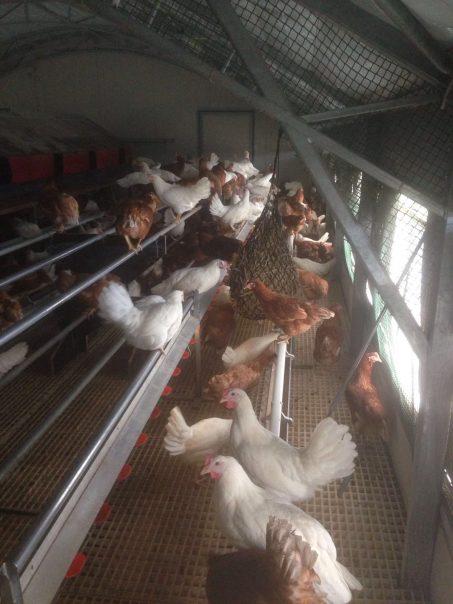 Die neuen Hennen sind da!